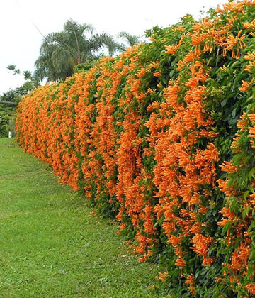 Orange Living Fence