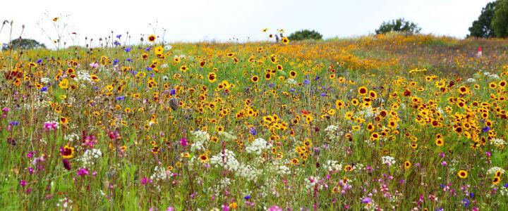 wildflower_field