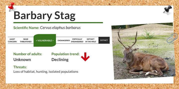 Barbary Stag