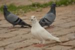 Pigeonon Control